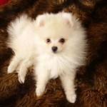 O Lulu da Pomerânia é descendente de cães da Islândia e da Lapônia (Foto: Divulgação)