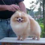 Nos Estados Unidos e Canadá, é chamado de Pomerania (Foto: Divulgação)