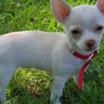 Ele é considerado um dos menores cães do mundo (Foto: Divulgação)