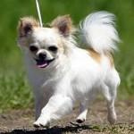 Chihuahua de pelo longo (Foto: Divulgação)
