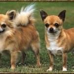 Chihuahua de pelo longo e chihuahua de pelo curto (Foto: Divulgação)