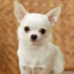 O Chihuahua é originário do México (Foto: Divulgação)