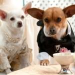 Casamento de chihuahuas? (Foto: Divulgação)