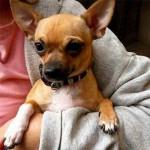 O chihuahua é classificado como cão de luxo (Foto: Divulgação)