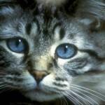 Geralmente, os gatos de olhos azuis são associados com a surdez, mas nem sempre eles têm problema de audição  (Foto: Divulgação)