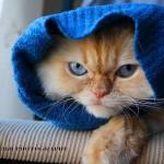 Os gatos geralmente pesam entre 2,5 kg e 7 kg (Foto: Divulgação)