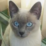 O gato possui uma agilidade incrível e é bastante veloz (Foto: Divulgação)