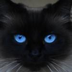 O temperamento do gato, de maneira geral, é bastante calmo (Foto: Divulgação)