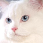 Quando está assustado, o gato fica com todos os pelos eriçados (Foto: Divulgação)