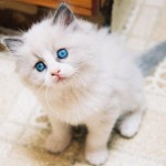 Os gatos brancos costumam apresentar um olho de cada cor  (Foto: Divulgação)