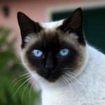 Para quem mora em apartamento, o gato é um dos melhores animais de estimação (Foto: Divulgação)