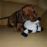 Originalmente, o dachshund é um cão de caça (Foto: Divulgação)