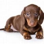 No século XIX, ele começou a se popularizar como cão de companhia, na Inglaterra (Foto: Divulgação)