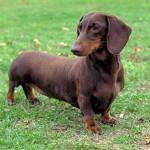Os cães da raça Dachshund são pequeninos e muito espertos (Foto: Divulgação)