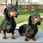 O dachshund também costuma ser muito ciumento (Foto: Divulgação)