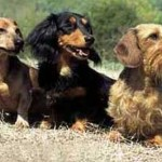 Existem três variedades da raça (Foto: Divulgação)