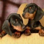 A função de vigia também pode ser feita pelo dachshund (Foto: Divulgação)