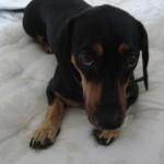 Você não pode se descuidar da alimentação do dachshund, pois ele adora se alimentar várias vezes ao dia (Foto: Divulgação)