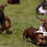 Na hora do passeio, tome cuidado para ele não arrumar briga com outros animais (Foto: Divulgação)