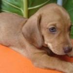 O dachshund pesa entre 6 kg e 11 kg (Foto: Divulgação)