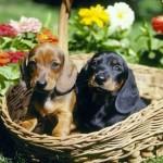 Os filhotes de dachshund adoram uma bagunça (Foto: Divulgação)