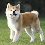 Ele é um cão de porte médio, que quando adulto pode pesar de 33kg a 50 kg (Foto: Divulgação)
