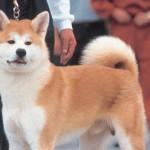 O Akita é um cão originário do Japão (Foto: Divulgação)