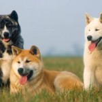 Eles são cães discretos, corajosos e determinados (Foto: Divulgação)