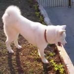Essa característica faz dele um bom cão de guarda (Foto: Divulgação)
