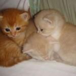Os filhotes de gato persa adoram comer o dia inteiro (Foto: Divulgação)