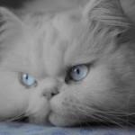 O gato persa é muito carinhoso e apegado ao dono (Foto: Divulgação)