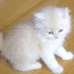 O gato persa se dá muito bem em apartamentos (Foto: Divulgação)
