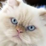 A altura do gato persa costuma variar de 25cm a 40cm (Foto: Divulgação)