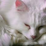 A raça angorá é uma das mais antigas entre os gatos domésticos (Foto: Divulgação)
