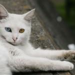 O gato angorá é oriundo da Turquia (Foto: Divulgação)