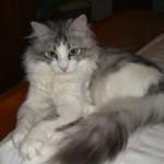 O gato angorá é muito inteligente e carinhoso (Foto: Divulgação)