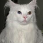 Durante o verão, é comum que o gato angorá perca muitos pelos (Foto: Divulgação)