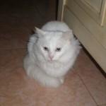 Assim como qualquer gato, o angorá cuida muito bem da sua higiene (Foto: Divulgação)