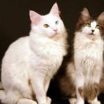 O gato angorá adora a companhia de outros gatos (Foto: Divulgação)