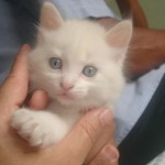 Desde pequeno, o gato angorá já sabe cuidar bem da sua higiene (Foto: Divulgação)