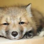 Filhote de raposa (Foto: Divulgação)