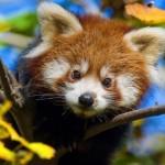 Filhote de panda vermelho (Foto: Divulgação)