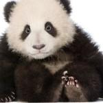 Filhote de panda (Foto: Divulgação)