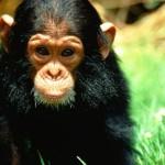 Filhote de chimpanzé (Foto: Divulgação)