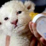 Filhote de leão branco (Foto: Divulgação)