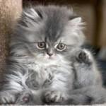 Filhote de gato angorá (Foto: Divulgação)