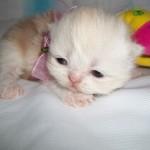 Filhote de gato persa (Foto: Divulgação)