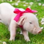 Filhote de porco (Foto: Divulgação)