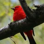 Scarlet Tanager (Foto: Divulgação)
