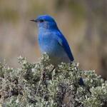 Mountain Bluebird (Foto: Divulgação)
